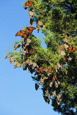 Red Cedar Photograph - Monarch Butterflies (danus Plexippus by Richard and Susan Day