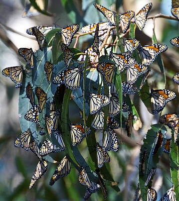 Monarch Butterflies Natural Bridges Art Print