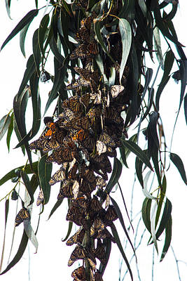 Photograph - Monarch Butterflies On Eucalyptus by Suzanne Luft