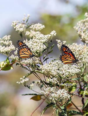Monarch Butterflies On Milkweed Art Print