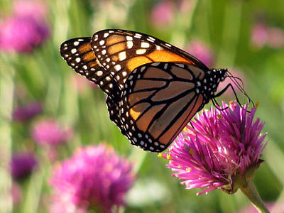 Photograph - Monarch Butterfly 01 by Pamela Critchlow