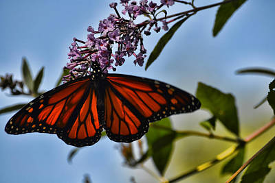 Photograph - Monarch Butterfly #1 by Beth Sawickie