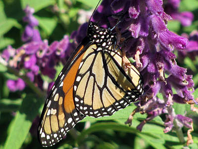 Photograph - Monarch Butterfly 15 by Pamela Critchlow