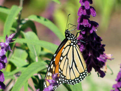 Photograph - Monarch Butterfly 17 by Pamela Critchlow