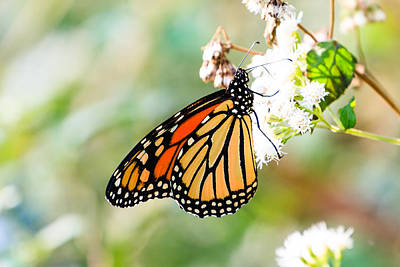 Photograph - Monarch Butterfly 2 by Ben Graham