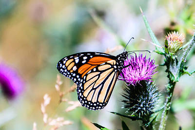 Photograph - Monarch Butterfly 3 by Ben Graham