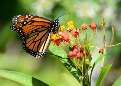Monarch Butterfly 3 Art Print by Julie Cameron