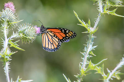 Photograph - Monarch Butterfly 4 by Ben Graham