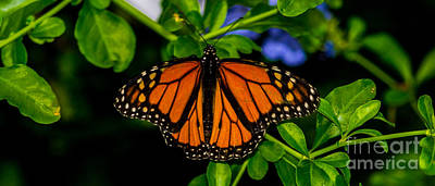 Photograph - Monarch Butterfly by Angela DeFrias