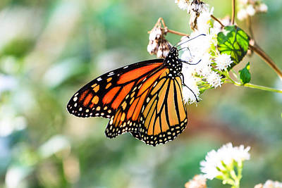 Photograph - Monarch Butterfly by Ben Graham