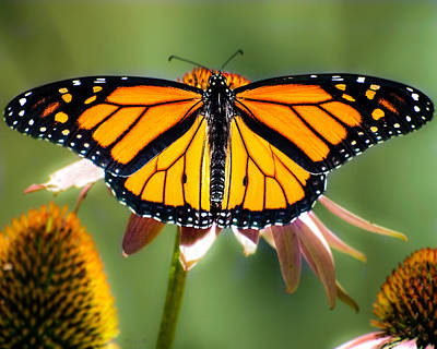 Spring Photograph - Monarch Butterfly by Bob Orsillo