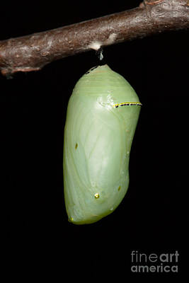 Photograph - Monarch Butterfly Chrysalis I by Clarence Holmes