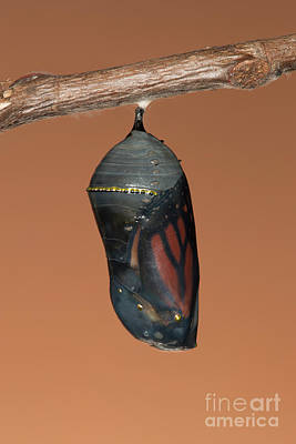 Photograph - Monarch Butterfly Chrysalis II by Clarence Holmes