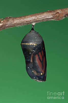 Photograph - Monarch Butterfly Chrysalis IIi by Clarence Holmes
