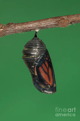 Photograph - Monarch Butterfly Chrysalis Iv by Clarence Holmes