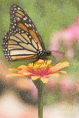 Digital Art - Monarch Butterfly Color Pencil by Jill Lang