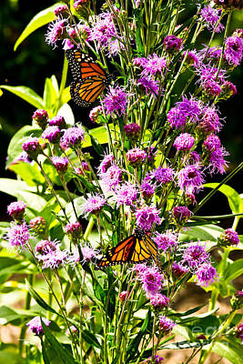 Photograph - Monarch Butterfly Couple by Ms Judi