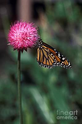 Photograph - Monarch Butterfly by Craig Lovell