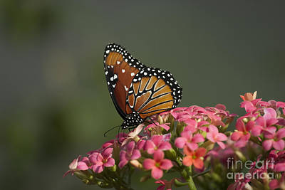 Photograph - Monarch Butterfly by D Wallace