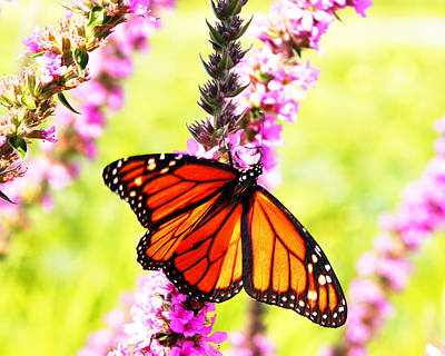 Photograph - Monarch Butterfly by Dan Dickerson