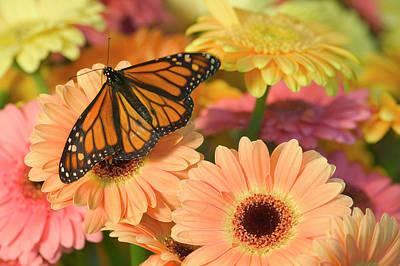 Gerber Daisy Photograph - Monarch Butterfly, Danaus Plexippus by Darrell Gulin