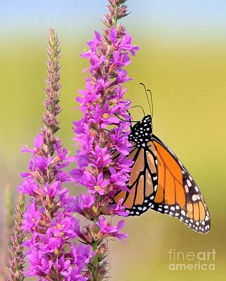 Photograph - Monarch Butterfly by Debbie Stahre