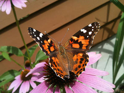 Beauty Photograph - Painted Lady Butterfly by Donna Doherty