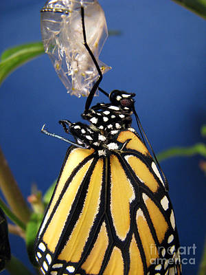 Monarch Butterfly Emerging From Chrysalis Print by Inspired Nature Photography Fine Art Photography