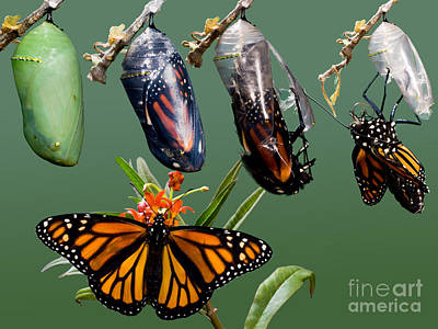 Photograph - Monarch Butterfly Growth Sequence by Anthony Mercieca