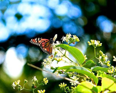 Photograph - Monarch Butterfly I by Michael Saunders
