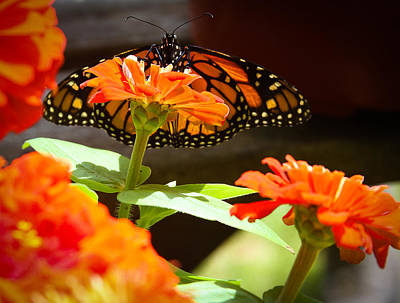 Photograph - Monarch Butterfly II by Patrice Zinck