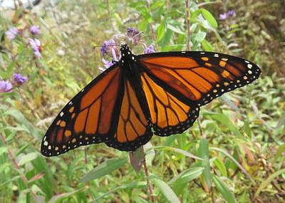Photograph - Monarch Butterfly In Roadside Meadow by Lucinda VanVleck