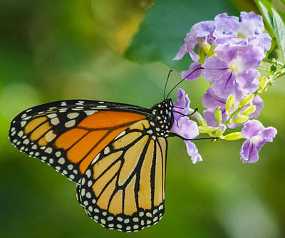 Monarch Butterfly Art Print by Jane Luxton