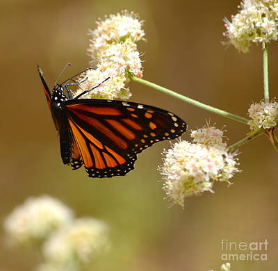 Photograph - Monarch Butterfly by Johanne Peale