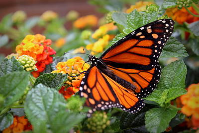 Photograph - Monarch Butterfly by Joseph Skompski