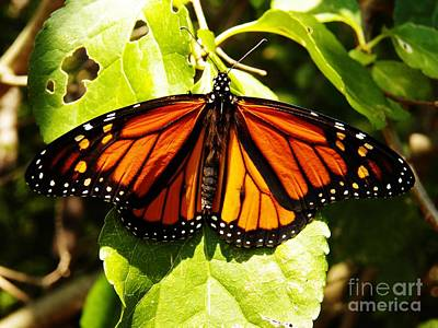 Photograph - Monarch Butterfly by Judy Via-Wolff