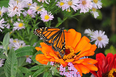 Photograph - Monarch Butterfly by Katie Wing Vigil