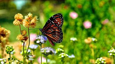 Photograph - Monarch Butterfly by Kristina Deane