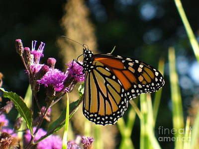 Art Print featuring the photograph Monarch Butterfly by Lingfai Leung