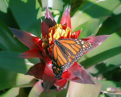 Photograph - Monarch Butterfly On A Bromeliad  by Fred Larson