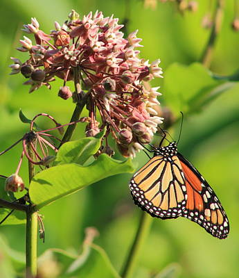 Photograph - Monarch Butterfly On Milkweed by John Burk