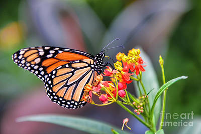Photograph - Monarch Butterfly On Milkweed by Olga Hamilton
