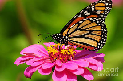 Monarch Butterfly On Zinnia Art Print by Olivia Hardwicke