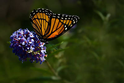 Photograph - Monarch Butterfly by  Onyonet  Photo Studios
