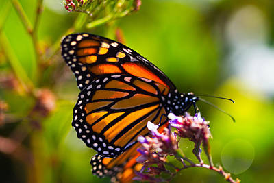 Photograph - Monarch Butterfly Purched by Dina Calvarese