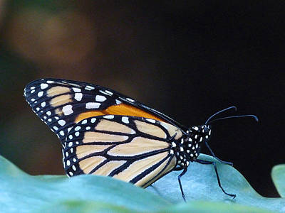 Photograph - Monarch Butterfly Resting On Leaf by Margaret Saheed