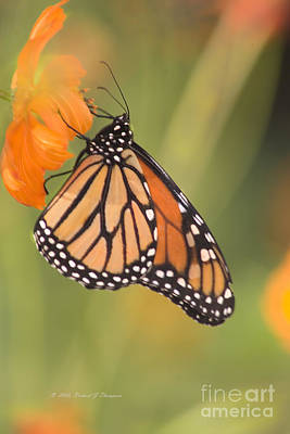 Photograph - Monarch Butterfly by Richard J Thompson