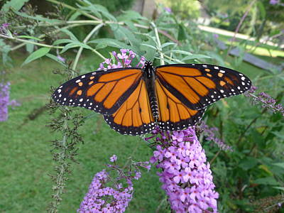 Photograph - Monarch Butterfly by Richard Reeve