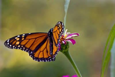 Photograph - Monarch Butterfly by Robert Camp