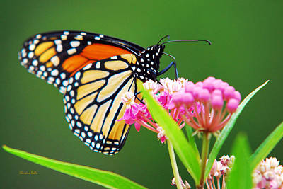 Photograph - Monarch Butterfly Simple Pleasure by Christina Rollo